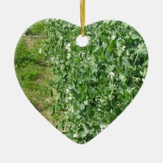 分野の花盛りの豆の木。 タスカニー、イタリア セラミックオーナメント