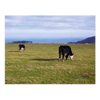 分野の見落としの牛の牧歌的な場面 ポストカード