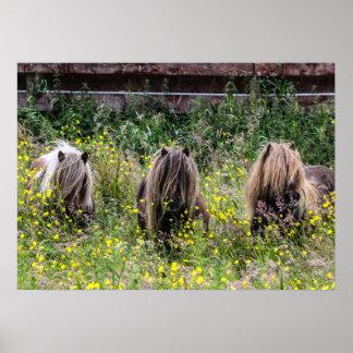 分野ポスターの3頭のシェトランド諸島子馬の種馬 ポスター