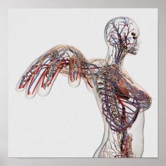 動脈、静脈およびリンパ系2 ポスター