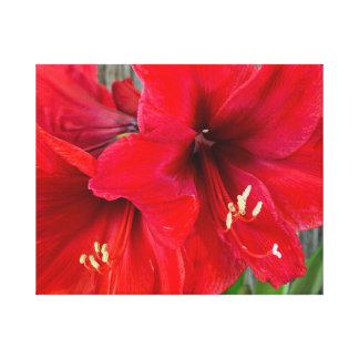 包まれたなキャンバスの赤いアマリリスの写真 キャンバスプリント