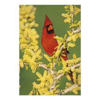 北の(鳥)ショウジョウコウカンチョウ、Cardinalisのcardinalis、男性 フォトプリント