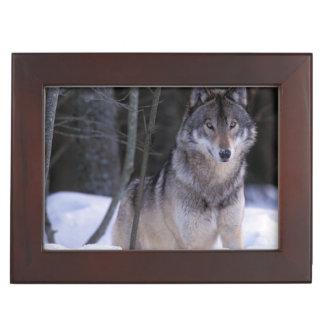 北アメリカ、カナダ、東のカナダのオオカミ ジュエリーボックス