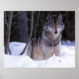 北アメリカ、カナダ、東のカナダのオオカミ ポスター