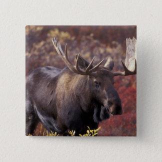 北アメリカ、米国、アラスカ、Denali NP。 Alces 5.1cm 正方形バッジ