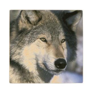 北アメリカ、米国、ミネソタ。 オオカミのイヌ属3 ウッドコースター