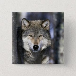 北アメリカ、米国、ミネソタ。 オオカミのイヌ属 5.1CM 正方形バッジ