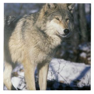 北アメリカ、米国、ミネソタ。 オオカミ(イヌ属2 タイル