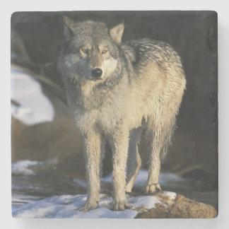 北アメリカ、米国、ミネソタ。 オオカミ(イヌ属 ストーンコースター