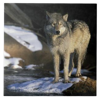 北アメリカ、米国、ミネソタ。 オオカミ(イヌ属 タイル