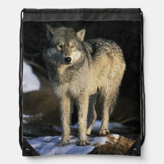 北アメリカ、米国、ミネソタ。 オオカミ(イヌ属 ナップサック