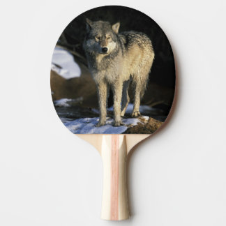 北アメリカ、米国、ミネソタ。 オオカミ(イヌ属 卓球ラケット