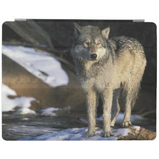 北アメリカ、米国、ミネソタ。 オオカミ(イヌ属 iPadスマートカバー