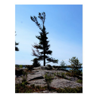 北チャネルの石の松の木 ポストカード