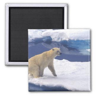 北極、スバールバルのフレンドリーがあっているセイウチ マグネット
