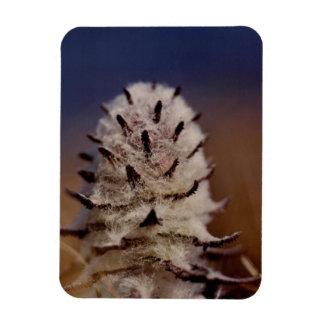 北極Wooly Lousewartの野生の花冷却装置 マグネット
