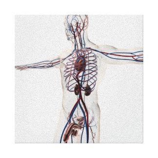 医学の絵: 男性の生殖システム3 キャンバスプリント