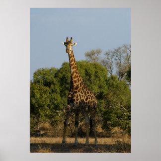 南アフリカのキリン ポスター