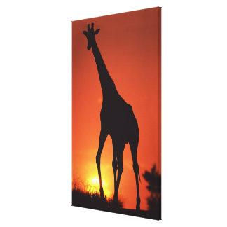 南アフリカ共和国、Kruger NP。  キリン(Giraffa キャンバスプリント