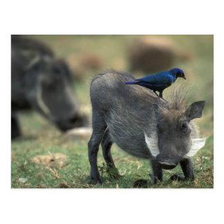 南アフリカ共和国、Pilanesburg GR、Warthog ポストカード