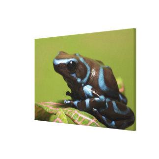 南アメリカ、パナマ。 青のクローズアップ キャンバスプリント