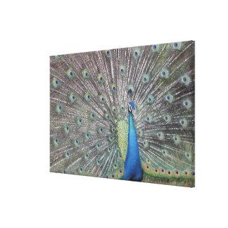 南アメリカ、ベネズエラの孔雀の表示 キャンバスプリント
