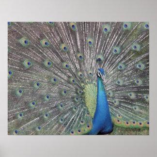 南アメリカ、ベネズエラの孔雀の表示 ポスター