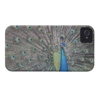 南アメリカ、ベネズエラの孔雀の表示 Case-Mate iPhone 4 ケース
