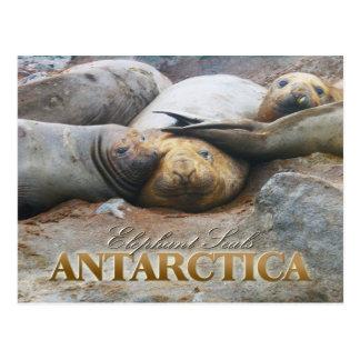 南ゾウアザラシ、南極半島 ポストカード