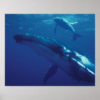 南太平洋、トンガ。 ザトウクジラおよび子牛 ポスター