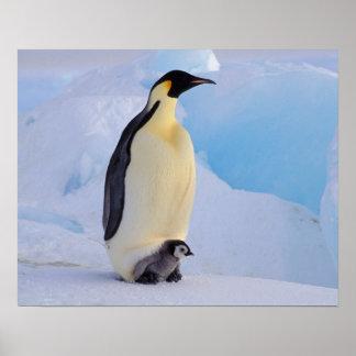 南極大陸のコウテイペンギン(コウテイペンギン属 ポスター