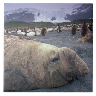 南極大陸のジョージアの南島、ゾウアザラシ タイル