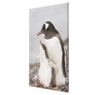 南極大陸のAitchoの島。 Gentooのペンギンのひよこ キャンバスプリント