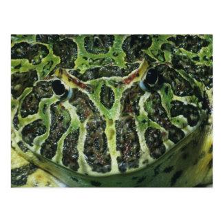 南華美な角状のカエル、(Ceratophrysのornata) ポストカード