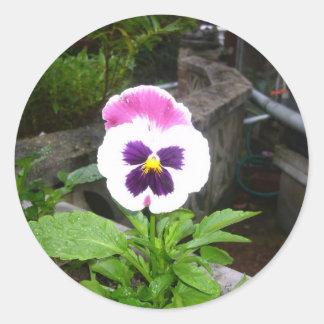 単独紫色および白いパンジー ラウンドシール