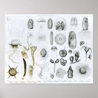原生動物門および腔腸動物門 ポスター