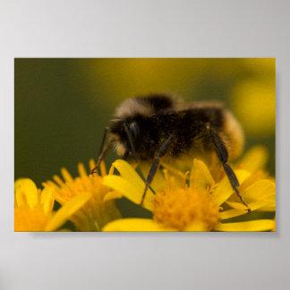受粉の《昆虫》マルハナバチ ポスター