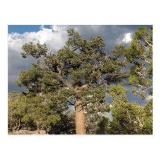 古代BristleConeの松の木 ポストカード