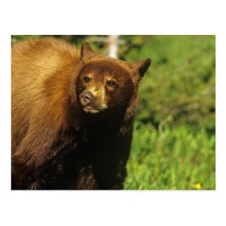 国民Waterton湖の年少のツキノワグマ ポストカード