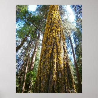 地衣で覆われる高いヒマラヤスギ木 プリント