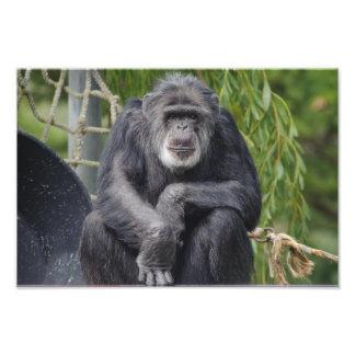 坐り、凝視の写真チンパンジー フォトプリント