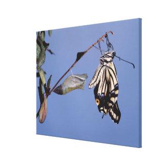 変態の後のアゲハチョウの蝶 キャンバスプリント