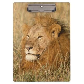 夜明けの成人男子のライオン クリップボード