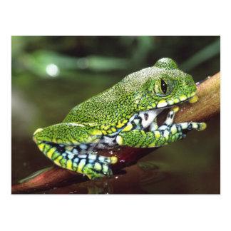 大きい目TreefrogのLeptopelisのvermiculatus、 ポストカード