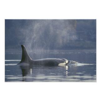 大人女性のシャチのクジラのOrcinusのシャチ)、Puget フォトプリント