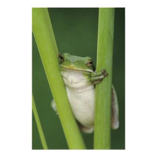 大人緑のTreefrogのcinereaアマガエル属湖 フォトプリント