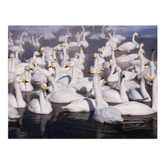 大白鳥、北海道、日本 ポストカード