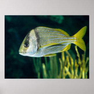 大西洋のPorkfishのポートレート ポスター