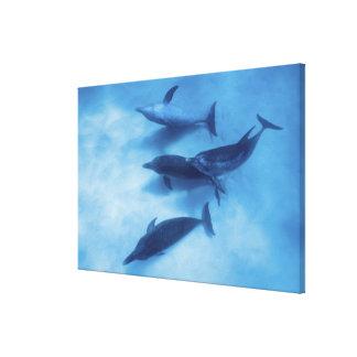 大西洋はイルカに斑点を付けました。 Bimini、バハマ キャンバスプリント