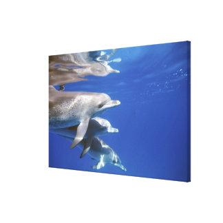 大西洋はイルカに斑点を付けました。 Bimini、バハマ。 8 キャンバスプリント